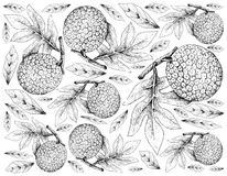 Hand Drawn of Breadfruit on White Background. Tropical Fruits, Illustration Wallpaper Background of Hand Drawn Sketch of Breadfruit or Artocarpus Altilis. High Royalty Free Stock Images