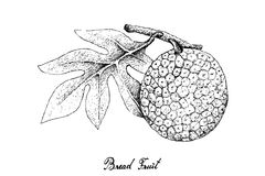 Hand Drawn of Breadfruit on White Background. Tropical ts, Illustration Hand Drawn Sketch of Breadfruit or Artocarpus Altilis Isolated on A White Background Stock Photo