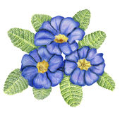 Hand-drawn bunch of primulas. Beautiful pencilled bunch of blue primulas with leaves Royalty Free Stock Images