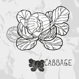 Hand drawn cabbage Stock Image