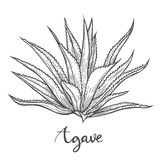 Hand drawn blue agave. Hand drawn Cactus blue agave. plant illustration on white background. Ingredient for traditional medicine, treatment, body care, cooking Royalty Free Stock Photography