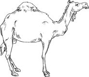 Hand drawn camel Stock Image