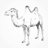 Hand drawn camel Royalty Free Stock Image