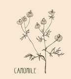 Hand drawn camomile. Vector illustration of medical herb camomile. Packaging design element.  Royalty Free Stock Photos