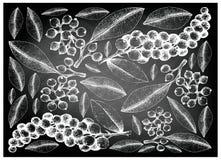 Hand Drawn Carallia Brachiata and Antidesma Thwaitesianum Fruits on Chalkboard. Berry Fruit, Illustration Wallpaper Background of Hand Drawn Sketch of Carallia Stock Photo