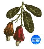 Hand drawn cashew tree branch Royalty Free Stock Images