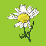 Hand drawn chamomile Stock Photography