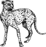 Hand drawn cheetah royalty free illustration