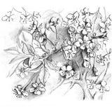 Hand drawn cherry blossom. Sketch sakura, japan cherry. Pencil drawing. Sketch sakura, japan cherry vector illustration