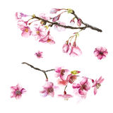 Hand Drawn Cherry Blossoms. Royalty Free Stock Photos