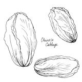 Hand drawn chinese cabbage Stock Images