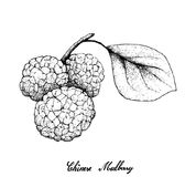 Hand Drawn of Chinese Mulberries on White Background Stock Photos