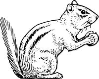 Hand Drawn Chipmunk Royalty Free Stock Image
