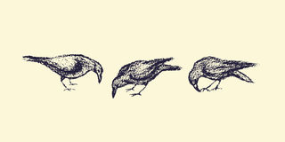 Hand drawn city birds. Vector illustration of hand drawn city birds. A couple of ravens hand drawn with chalk. Beautiful design elements Stock Photo