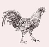 Hand drawn cock. Hand drawn illustration of cock Stock Photography