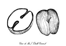 Hand Drawn of Coco de Mer or Double Coconut Fruits. Tropical Fruits, Illustration of Hand Drawn Sketch Coco de Mer or Double Coconut Fruits Isolated on White royalty free illustration