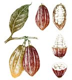 Hand drawn cocoa beans set Stock Photography