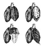 Hand drawn cocoa beans set Stock Images