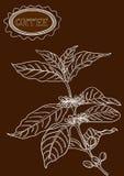 Hand drawn coffee plant illustration Stock Photo