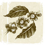 Hand drawn coffee tree branch Stock Images