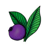Hand drawn colored illustration of bilberry Royalty Free Stock Photo
