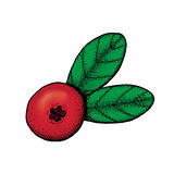 Hand drawn colored illustration of cowberry. Hand drawn colored engraved style illustration of cowberry Stock Photos
