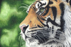 Hand Drawn Colored Pencil Tiger Stock Photos