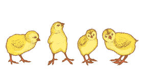 Hand drawn colored sketch of 4 easter chicks. Royalty Free Stock Photography