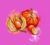 Hand drawn colorful bright physalis, berries. Watercolors, purpl vector illustration