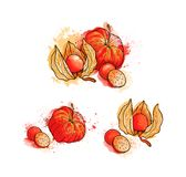 Hand drawn colorful bright physalis, berries. Watercolors, white royalty free illustration