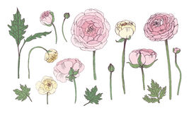 Hand drawn colorful floral elements set. Collection with pink ranunculus flowers. Stock Photos
