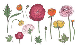 Hand drawn colorful floral elements set. Collection with ranunculus flowers. Royalty Free Stock Photography