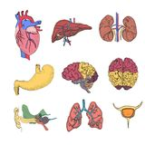 Hand Drawn Coloured Set with Human Organs. Such as Heart, Liver, Lungs and other. Human Anatomy Vector Royalty Free Stock Photo