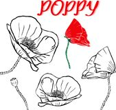 Hand drawn contour of poppy flowers Royalty Free Stock Photography