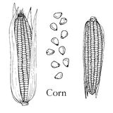 Hand drawn corn cobs and seeds Royalty Free Stock Images