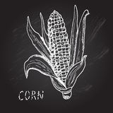 Hand drawn corn Royalty Free Stock Photography