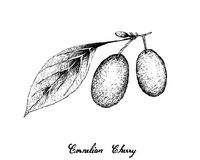 Hand Drawn of Cornelian Cherries on White Background Stock Photography
