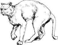 Hand drawn cougar Royalty Free Stock Image
