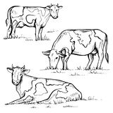 Hand drawn cow on white background. Set of vector cows, farm animals Stock Photos