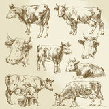 Hand drawn cows Stock Images
