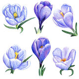 Hand-drawn crocuses Royalty Free Stock Photography