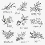 Hand drawn culinary herbs Royalty Free Stock Photo