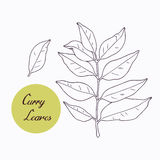 Hand drawn curry leaves branch Stock Photos