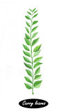 Hand drawn curry leaves branch  on white Stock Photo
