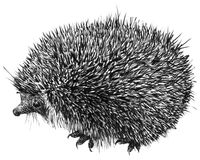 Hand-drawn cute hedgehog illustration. Illustration of a hedgehog made with a felt-marker Stock Photography