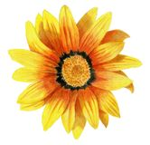 Hand-drawn dahlia flower. Bright pencilled yellow dahlia flower Royalty Free Stock Images