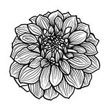 Hand drawn Dahlia flower Stock Photo