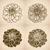Hand drawn Dahlia flower Stock Photography