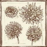 Hand drawn dahlia flowers vintage sketch Royalty Free Stock Photo