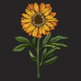 Hand drawn daisy flower with stem and leaves isolated on black background. Botanical  illustration Stock Images